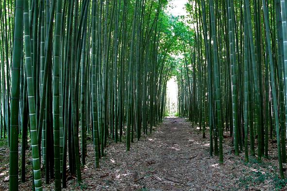 coltivazione di bamb italiano radiobase mantova
